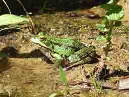 edible frog by Puckles Pond