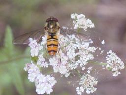 marmalade fly - Episyrphus balteatus (male)