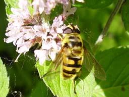 hoverfly - Myathropa florea (female)