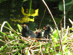 moorhens on Puckles Pond