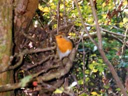 robin (male)