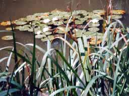 water lillies - Willow Pond